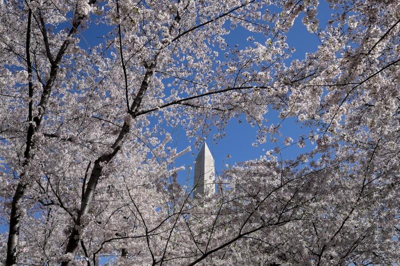 Cherry Blossoms 2014 Pete Marovich